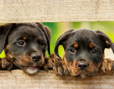 CDC Bans Dog Import from over 113 Countries
