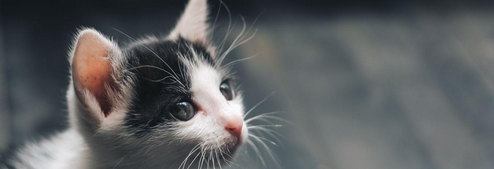 kitten banner image