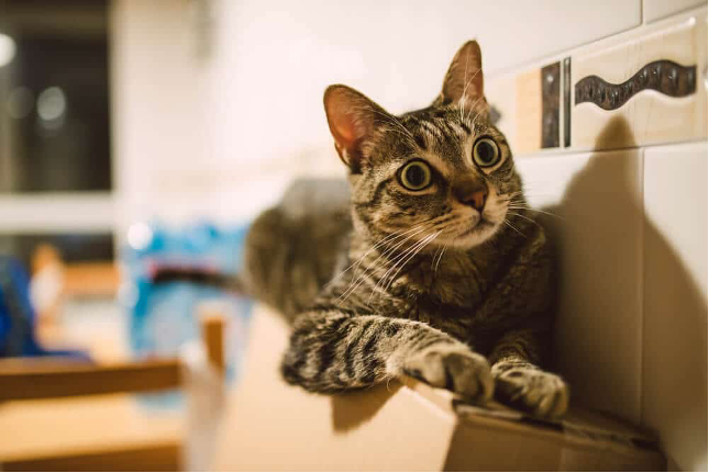 Could It Be Feline Hyperesthesia Syndrome?