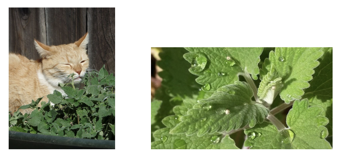Everything You Always Wanted to Know About Catnip but Were Afraid to Ask…