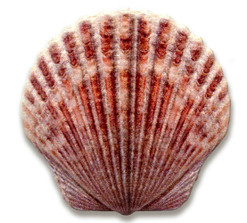 SCALLOP Shell Castaway Collection Silver Coin 1$ Fiji 2019