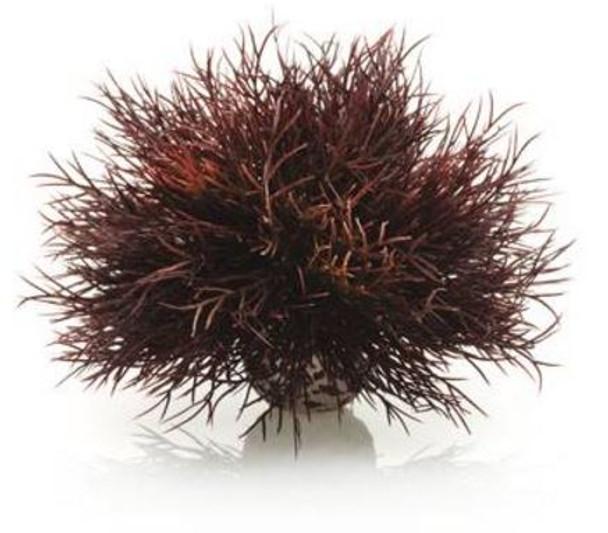 Sea Lily Crimson