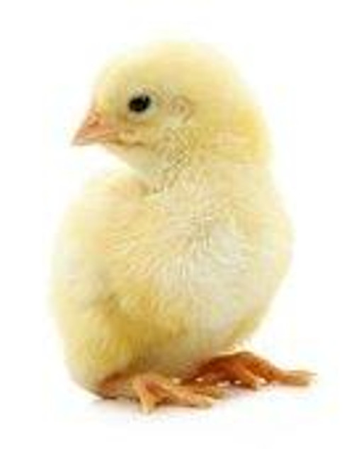 Customer Satisfaction No Hassle 100% Guaranteed !!! Fresh From the Farm to your Door! FREE SHIPPING with orders over $59! Under $59 is a $29 S&H. 25 Chicks per bag Chicks are one day old. Each chick weighs 28 - 57 Grams. Each chick is about 1.5 - 2 Inches in Length.