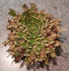 Rose of Jericho 12 hours after adding water