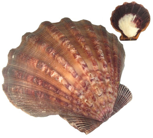 Lion Paw Scallop Sea Shell Large 13cm
