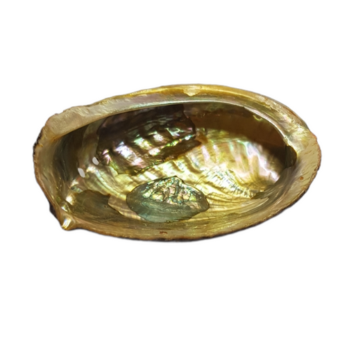 Abalone Shell Green Small 11-13cm