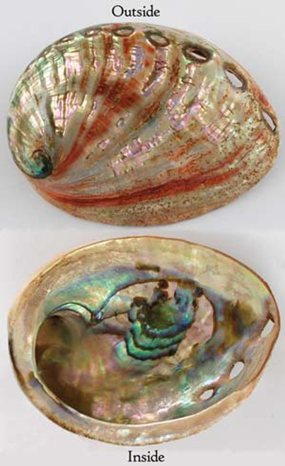 Mini Red Abalone Shell 6.5cm