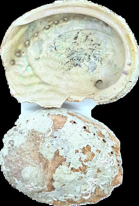 Abalone Shell Raw Small 10.5cm