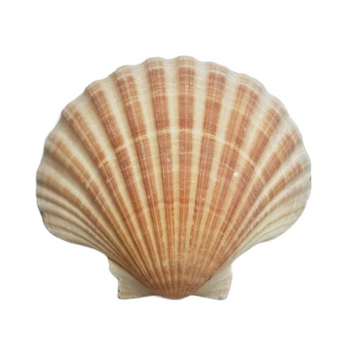 Scallop Sea Shell Small 8cm