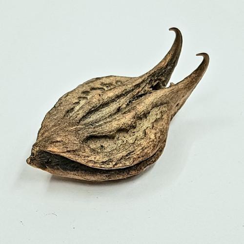Bat's Head Root (1 seed pod)