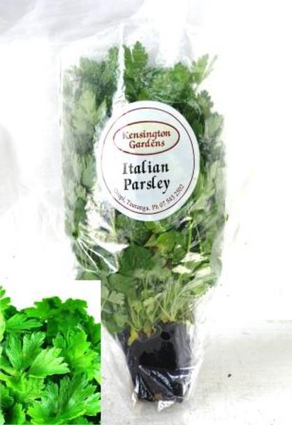 Parsley Italian - Living Herbs