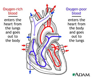 Diagram of Healthy Heart Circulation