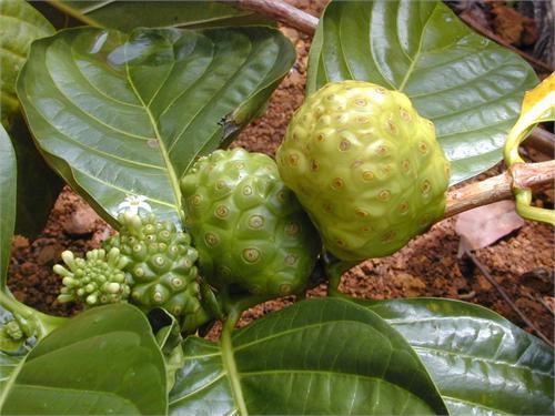 Morinda Citrifolia Noni