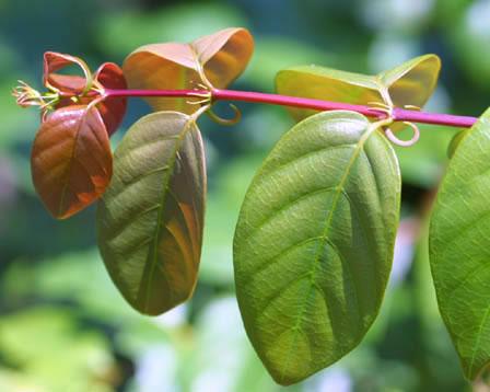 Ramulus Uncariae (Hook) Extract - Uncaria Rhynchophylla Gou Teng