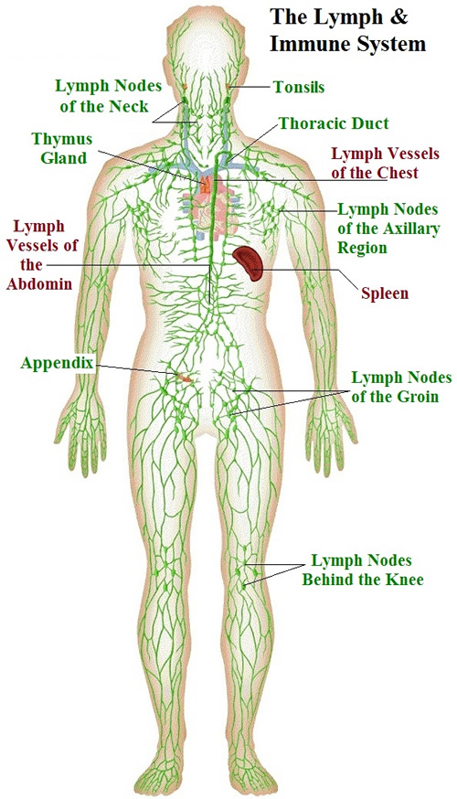 Lymphatic System Immune System Diagram