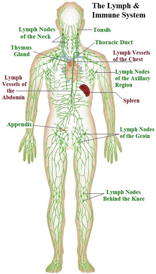 Lymphatic System Immune System Diagram