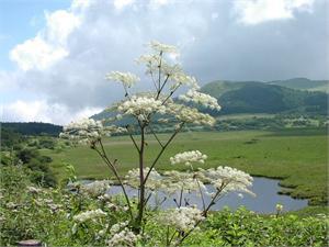 Angelica Sinensis Radix Herb