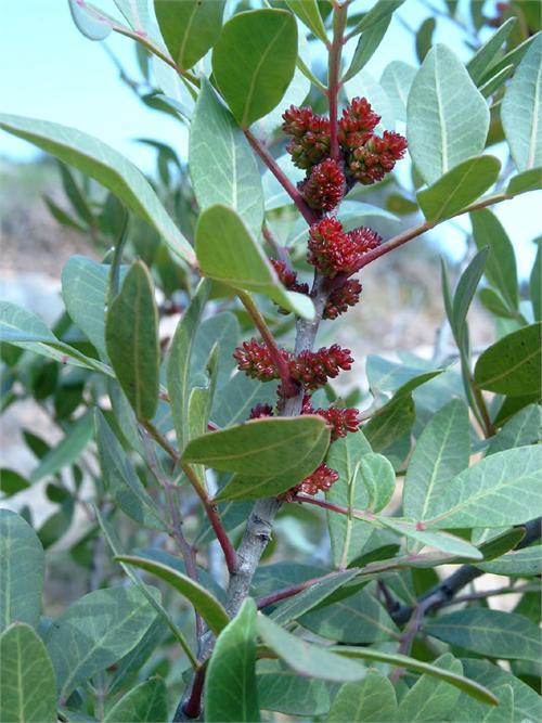 Mastic Tree Boswellia Carterii Ru Xiang Frankincense