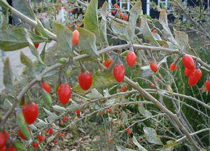 lycium-barbarum-lycium-fruit-chinese-wolfberry-63742.1428431699.300.300.jpg
