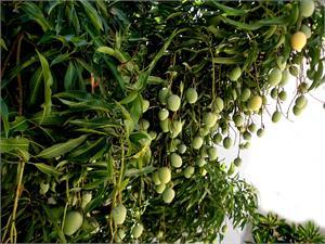 mangifera-indica-tropical-brazil-mango.jpg