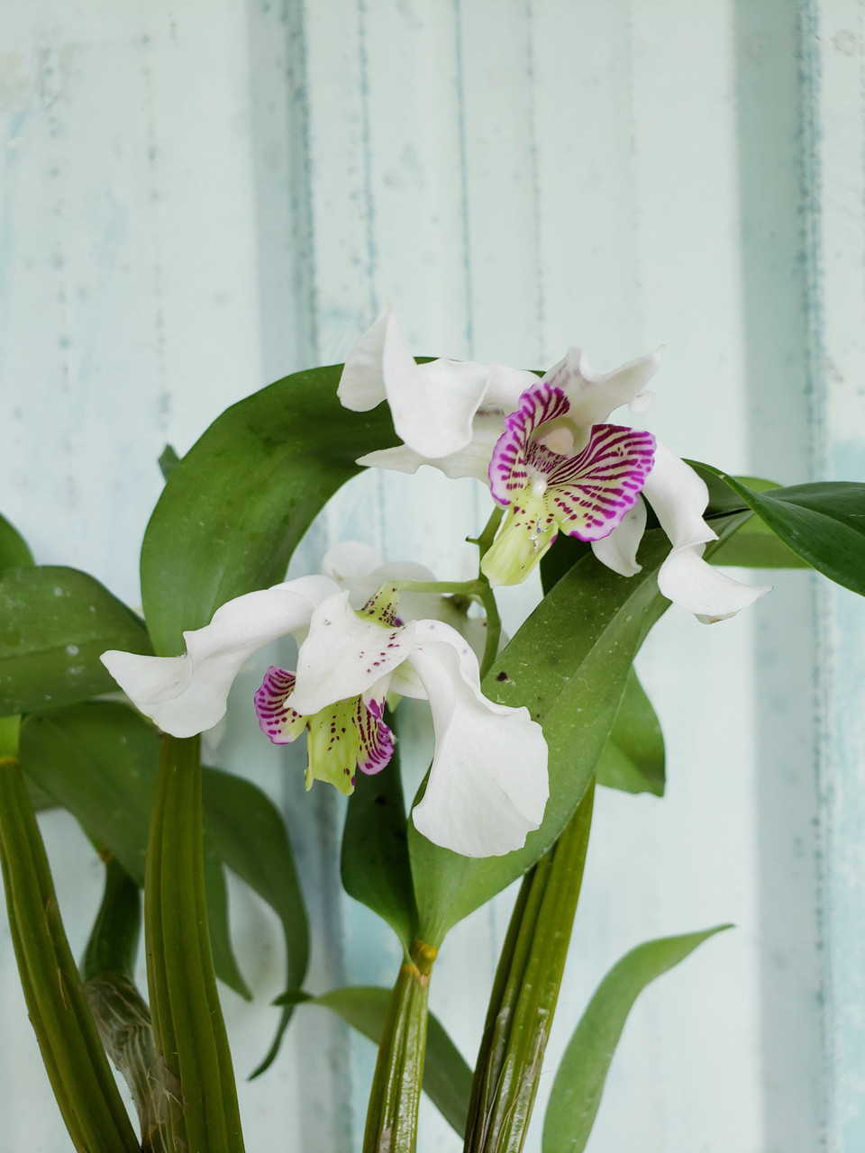Orchid In Bloom Miscellaneous Variety Hana Tropicals Buy