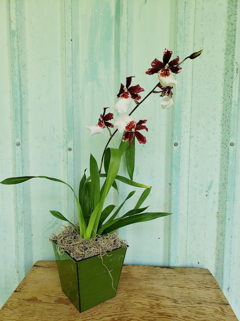 Holiday Orchid Special 2019