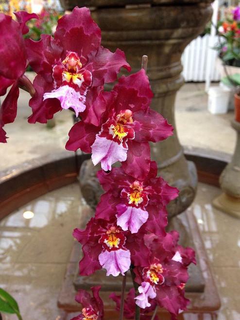 Wils. Lisa Devos Orchid