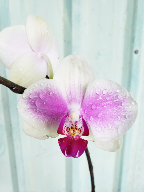 Easter Orchid Special (Orchid plus Hana Taste INCLUDED!) 10% SAVINGS!
