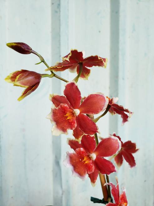 Oip. Crimson Pride Orchid