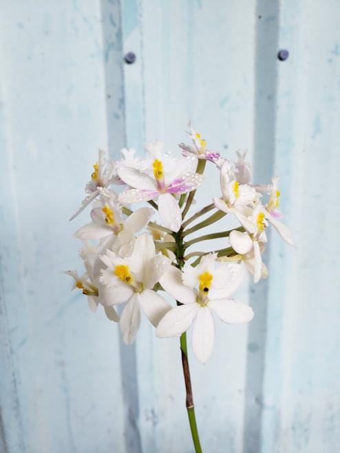 Epi. Wedding Valley 'Yubanai' Orchid