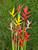 Heliconia Special (10 XLARGE Florist Flowers!)