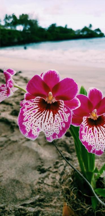 Miltonia Orchid Bundle
