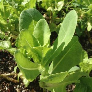 keyhole-lettuce.png