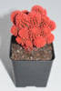Live Red Desert Gem Cactus -  Live plants, House plant, Long lasting easy care plant