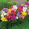 Freesia Bulbs 5 pc- Mixed Colors-  Blessings plants, Beautiful Bouquet Flowers, Pleasantly Scented