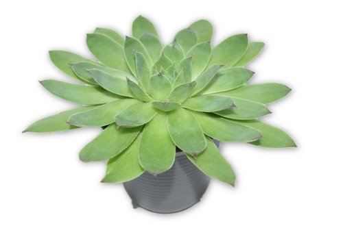 Live Large Succulent Plant -  Plant Only- Blessings plants, House plant, Long lasting easy care plant