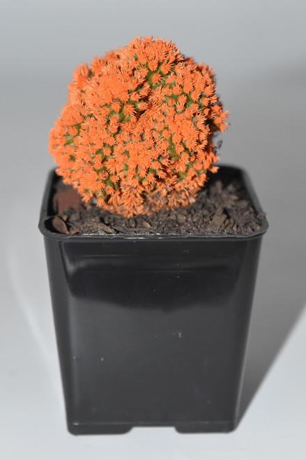 Live Orange Desert Gem Cactus -  Live plants, House plant, Long lasting easy care plant