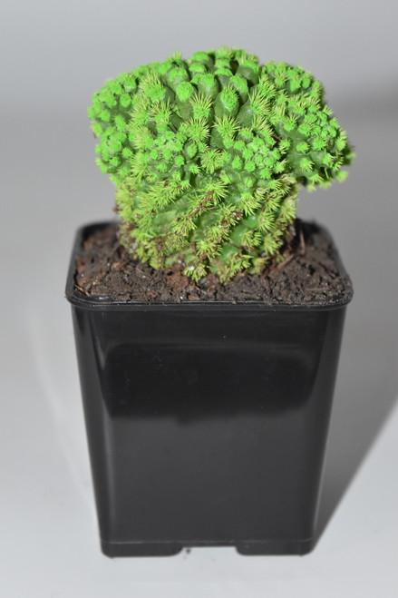 Live Green Desert Gem Cactus -  Live plants, House plant, Long lasting easy care plant
