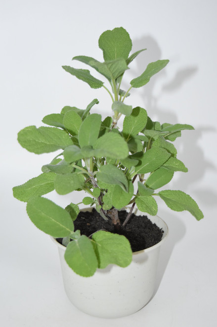 "10""+ Live Sage Bush 1 y/o Plant -  Ready to use now.  Blessings, Herbs, spices house plant, Long lasting easy care plant."
