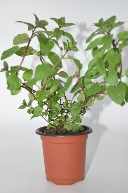 Live Chocolate Mint Plant - Ready to use now.  Blessings, Herbs, Spices. Live Houseplant