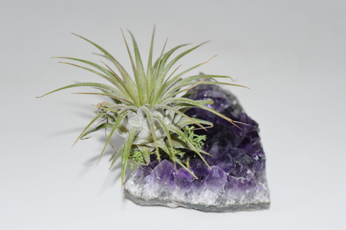 Live Air Plant on Amethyst Cluster-Purify Air, Crystal, Office plant, desk decor, Live house plants,