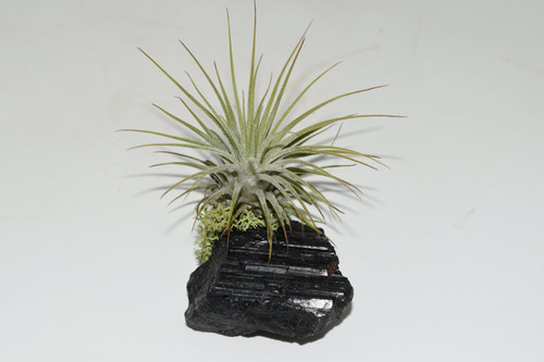 Live Air Plant on Black Tourmaline-Purify Air, Crystal ,Office plant, desk decor, Live house plants