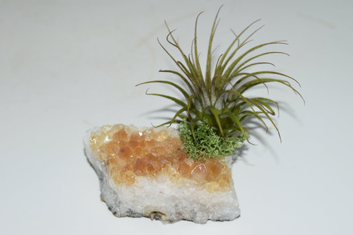 Live Air Plant on Citrine -Purify Air, Crystal Healing, Office plant, desk decor, Blessings, Live house plants, wicca, pagan