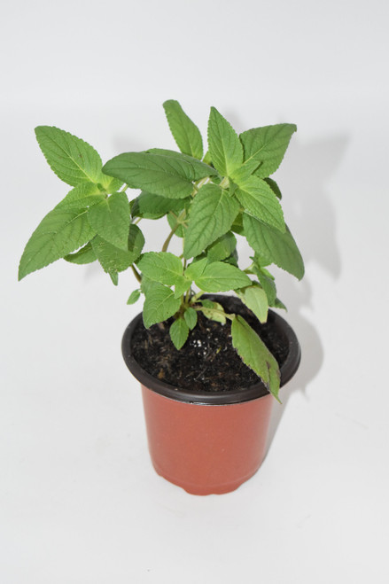 Live Pineapple Sage Plant - Ready to use now.  Blessings, Herbs, Spices. Live house plants,