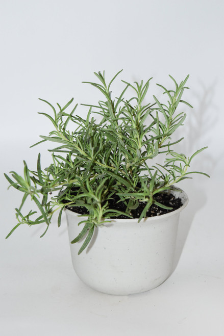 Live Rosemary Plant  Bush - Ready to use now.  Blessings, Herbs, Spices. Live house plants, wicca, pagan