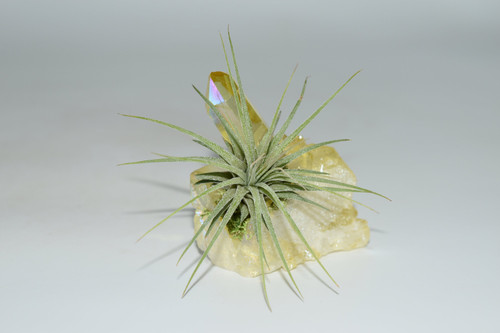 Air Plant on Yellow Angel Aura Quartz Cluster Crystal/ Sunshine Angel Aura Crystal