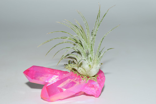 Air Plant on Pink Angel Aura Quartz Cluster- Wicca, Pagan, Protection, Crystal Grid, Crystal Therapy