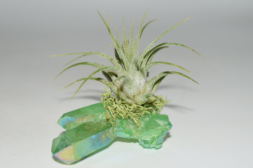 Air Plant on Apple Angel Aura Quartz Cluster/ Green Angel Aura Quartz - Wicca, Pagan, Protection, Crystal Grid, Crystal Therapy