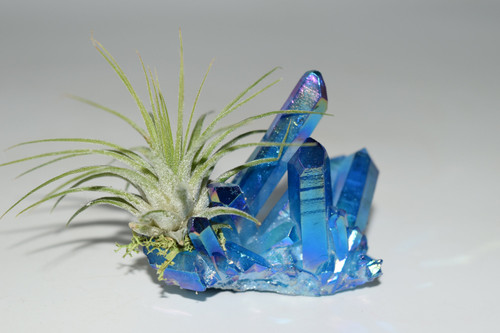 Air Plant on Dark Blue Angel Aura Quartz Cluster/Cobalt Blue Angel Aura Crystal