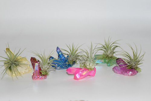 Air Plant on Dark Purple Angel Aura Quartz Cluster/ Purple Spirit Angel Aura Quartz Crystal
